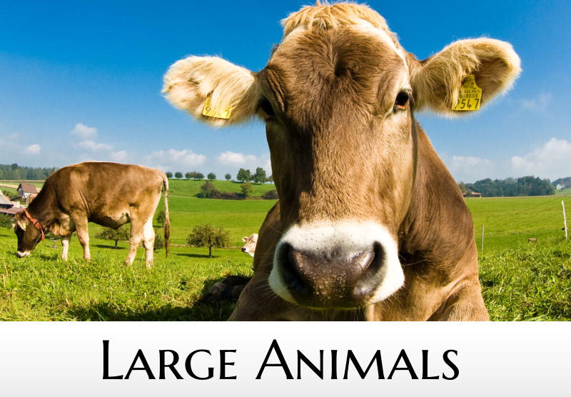 Large Animals